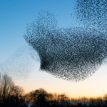 Interesting Facts About Starling Birds Murmuring in the Winter Sky